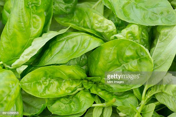 spinach leaves - spinach stock pictures, royalty-free photos & images