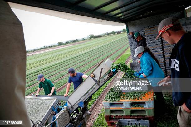 Spinach travels along a conveyor into a trailer as UK Seasonal Relief Team working for The Watercress Company looks on as they harvest spinach on...