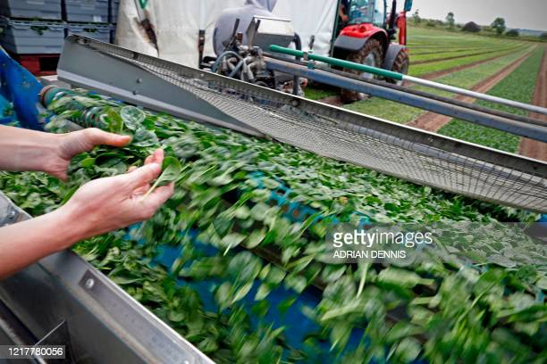 Spinach travels up the conveyor of a cutting machine as the UK Seasonal Relief Team working for The Watercress Company harvest spinach on farmland...