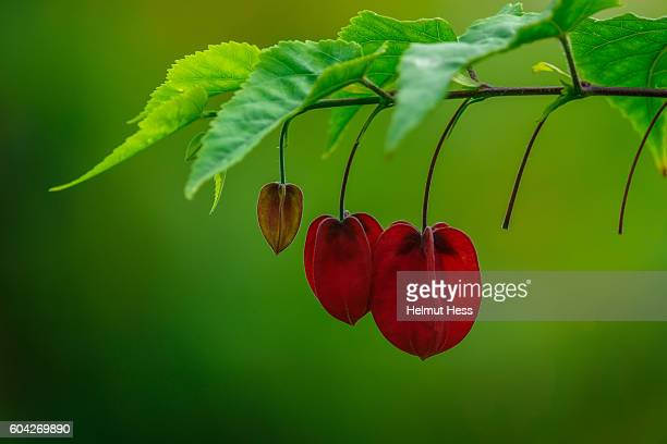 spindle tree - burning bush stock pictures, royalty-free photos & images