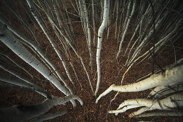 Spindly Aspen Trees From A High Angle View Wall Art