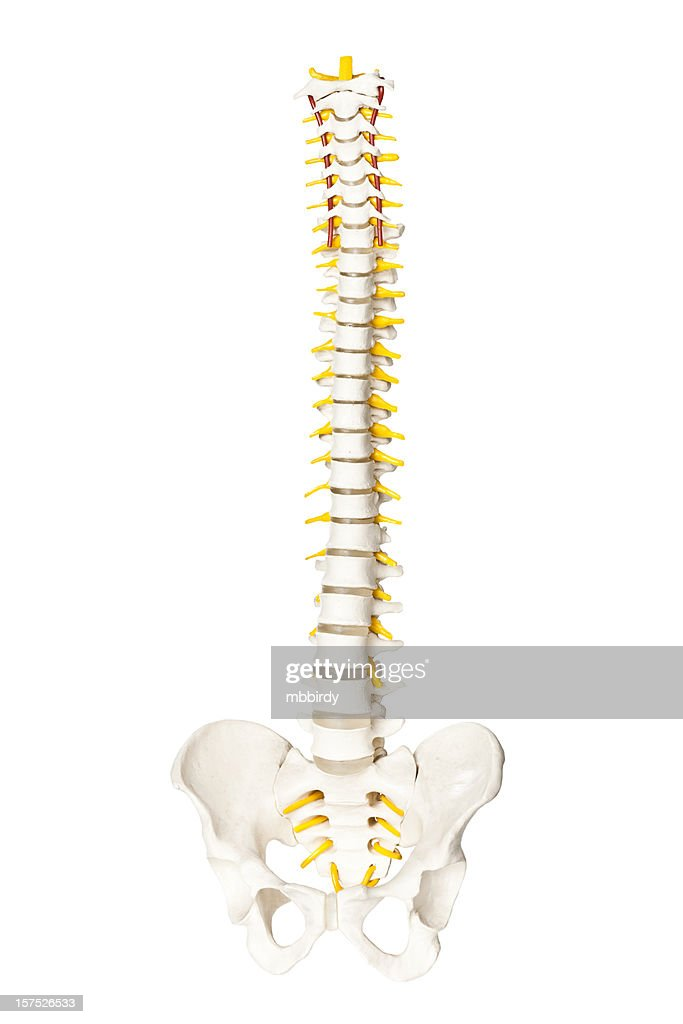 Spine Anatomy Model Images Human Anatomy Diagram Organs