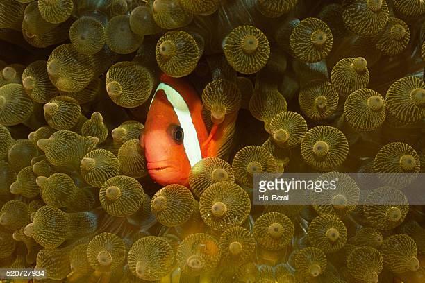 Spinecheek Anemonefish in Bulb-Tenacle Anemone