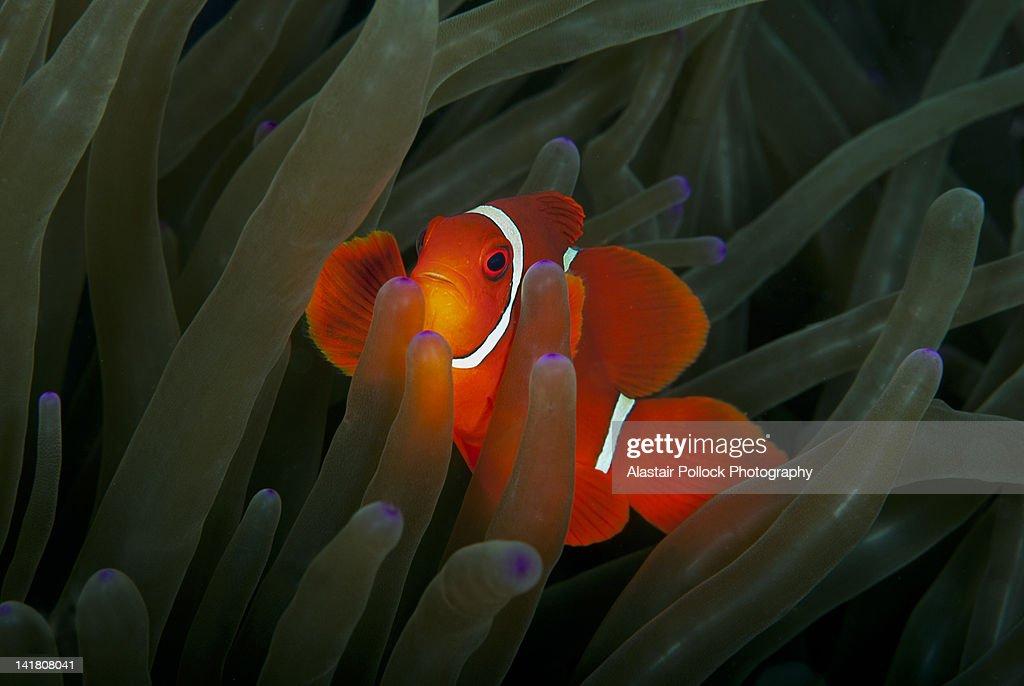 Spinecheek Anemonefish : Stock Photo