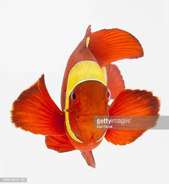 Spine-cheek anemonefish (Premnas biaculeatus)