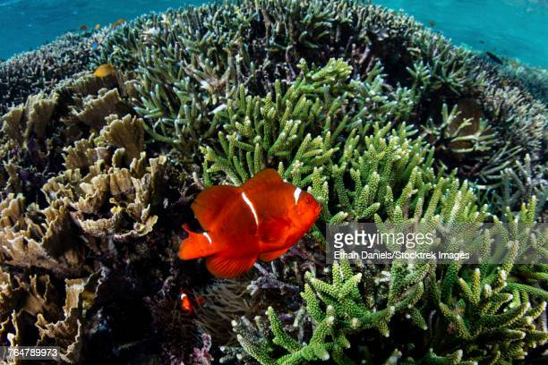 A spinecheek anemonefish wims near its host anemone.