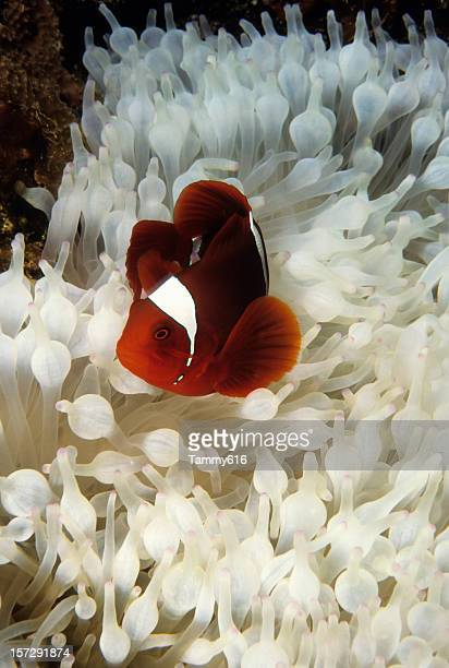 Spinecheek Clownfish in Bleached Anenome.
