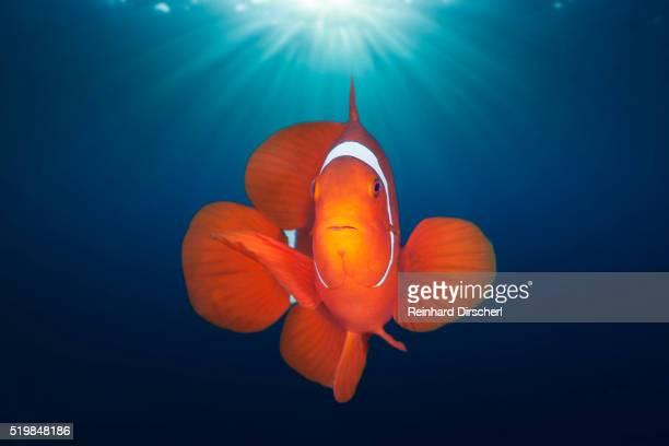 Spinecheek Clownfish, Solomon Islands