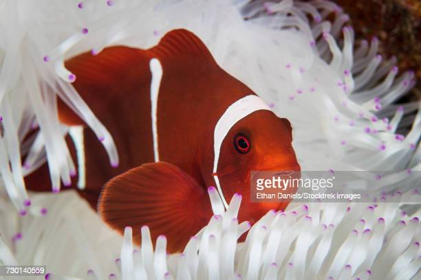 a spine-cheeked anemonefish swims among the tentacles of its host anemone. - omnívoro fotografías e imágenes de stock