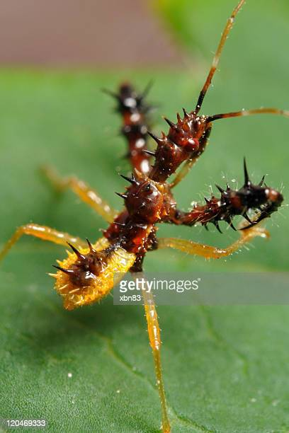 spined assassin bug - sinea macro - kissing bug stock photos and pictures