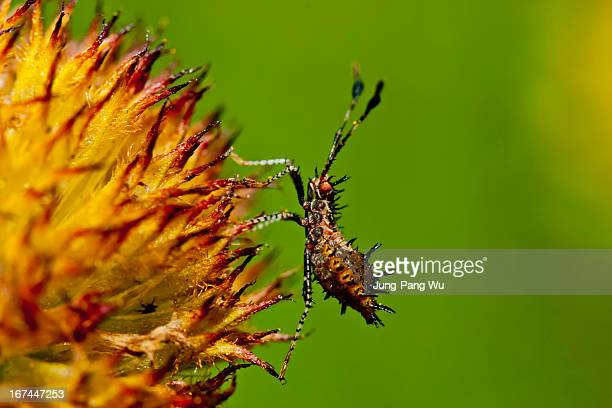 spined bug on spined seeds - kissing bug stock photos and pictures
