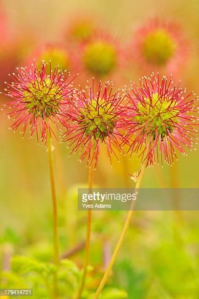 spineless pirri-pirri bur (acaena inermis) - exotic_species stock pictures, royalty-free photos & images