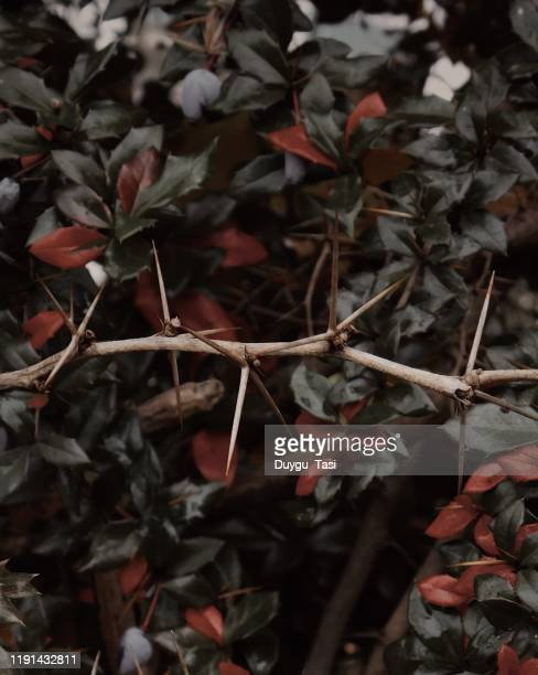 spines in the green - thorn stock pictures, royalty-free photos & images