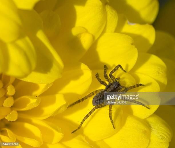 Spinnen Wolfsspinne auf einer gelben Dahlie