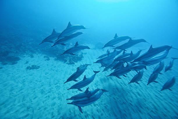 Spinner dolphins morning light