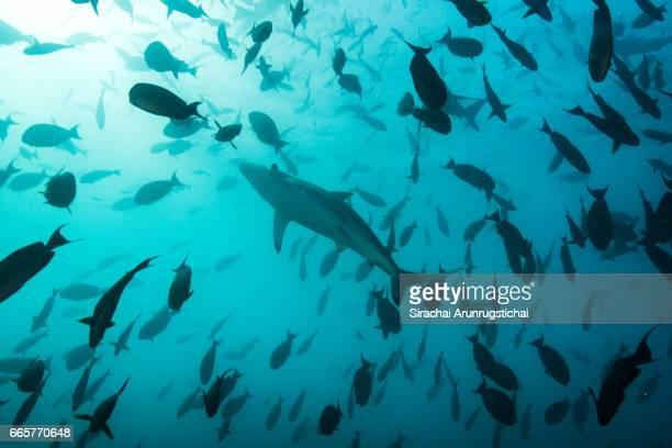 a spinner shark, carcharhinus brevipinna swims among school of fishes - 食物連鎖 ストックフォトと画像