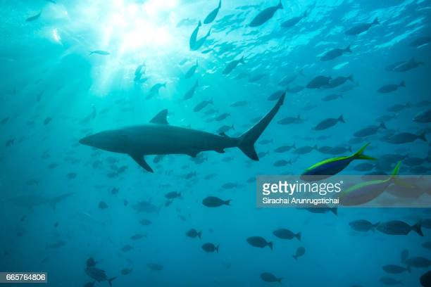 Spinner shark, Carcharhinus brevipinna swims with school of reef fishes