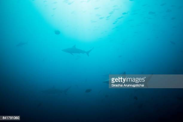 spinner sharks (carcharhinus brevipinna) swim in clear blue water among school of fishes - 深い ストックフォトと画像
