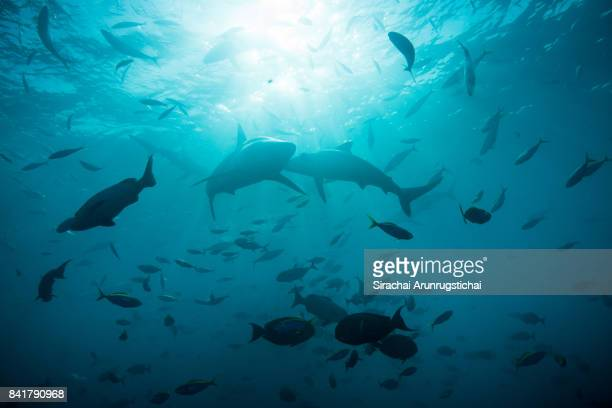 Spinner sharks (Carcharhinus brevipinna) swims among a large school of fishes
