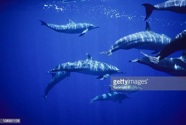 spinners, stenella longirostris - dolphins stock photos and pictures