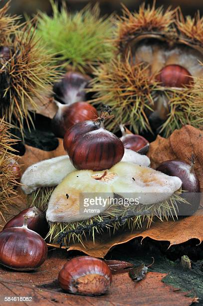 Spiny cupules and chestnuts of the sweet chestnut tree amongst autumn leaves on the forest floor