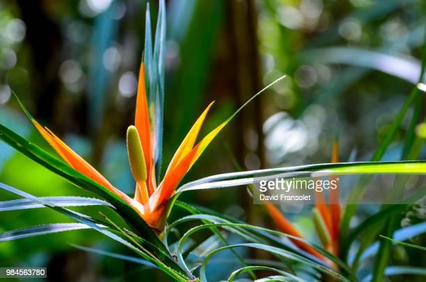 spiny flower - guadeloupe photos et images de collection