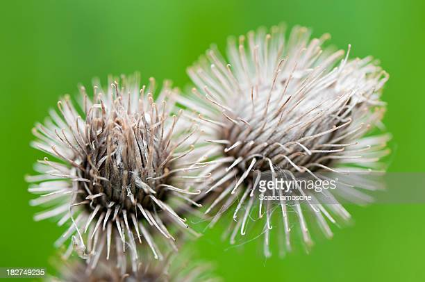spiny fruits - nylon fastening tape stock photos and pictures
