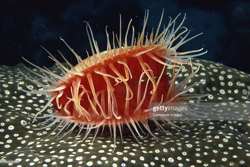 Spiny mollusk : Stockfoto