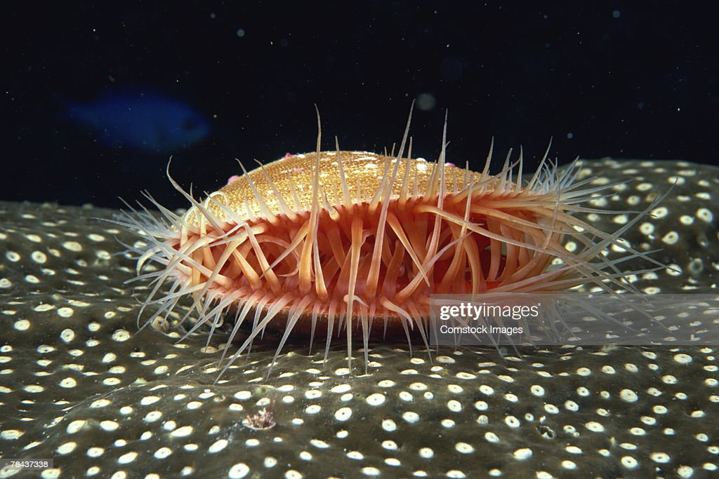 Spiny mollusk : Stockfoto