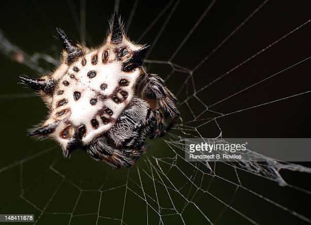 spiny orb weaver spider - cidade de quezon - fotografias e filmes do acervo