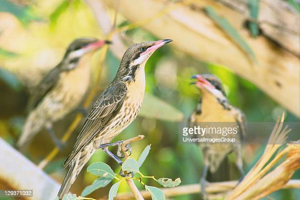 Spinycheeked Honeyeaters gather in the shade of river red gums near an isolated waterhole on the edge of he Simpson Desert in Ethabuka Bush Heritage...