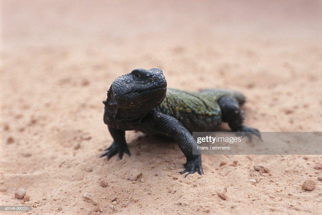 Spiny-Tailed Lizard : Stock Photo