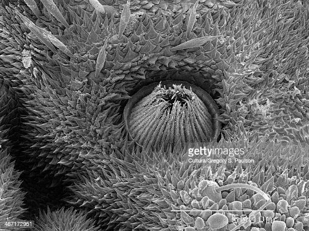 Spiracle of  Limacodidae larva SEM