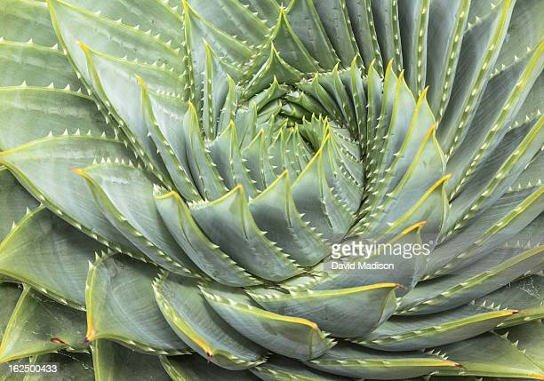 spiral aloe (aloe polyphylla) - natural pattern stock pictures, royalty-free photos & images