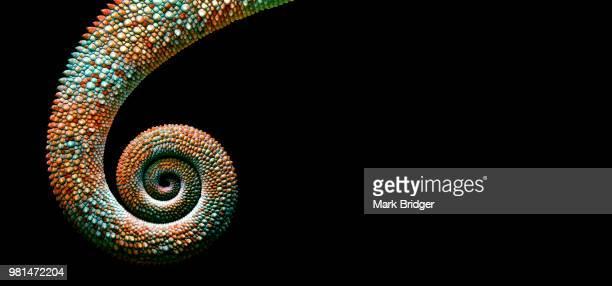 spiral - camaleonte foto e immagini stock
