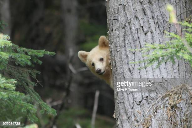 spirit bear cub peak a boo - animals in the wild stock pictures, royalty-free photos & images
