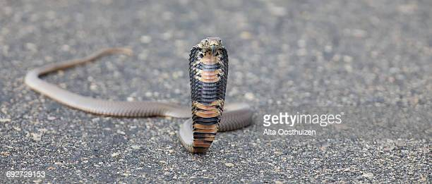 spitting cobra (naja mossambica) rearing up aggressively on a road to fight off danger - kruger national park south africa - gangrena fotografías e imágenes de stock