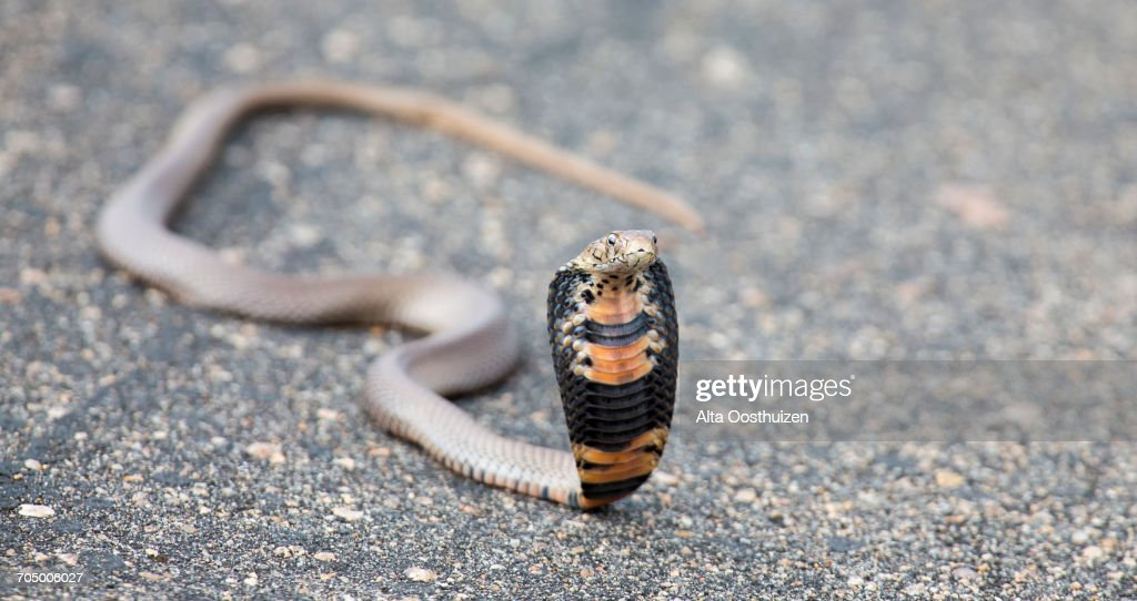 Spitting cobra (Naja mossambica) rearing up aggressively on a road to fight off danger : Stock Photo