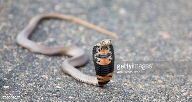 spitting cobra (naja mossambica) rearing up aggressively on a road to fight off danger - gangrena fotografías e imágenes de stock