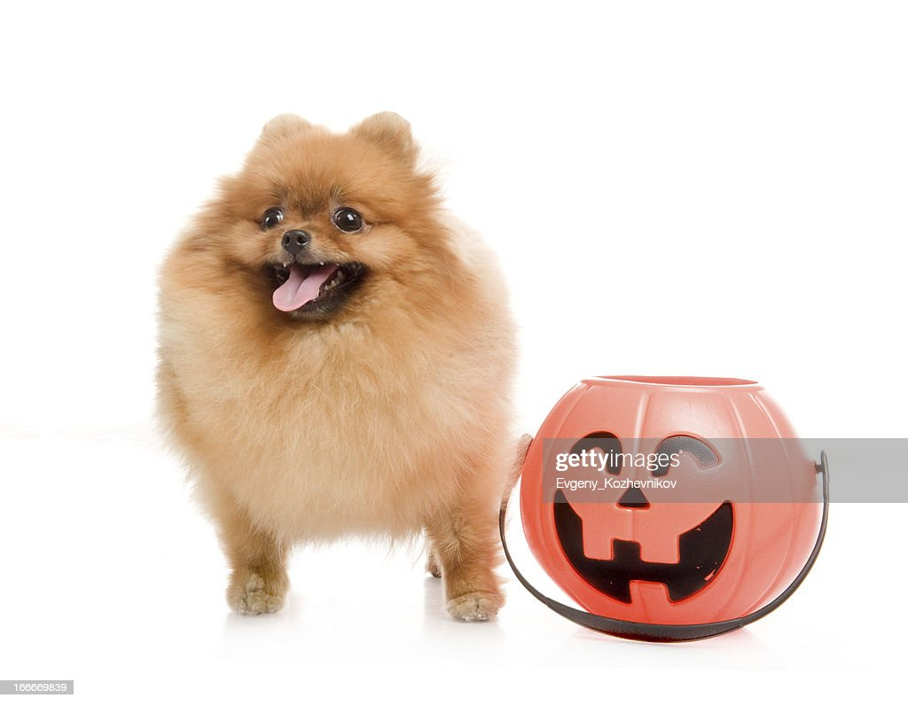 spitz pomeranian dog with halloween pumpkin stock photo | getty images