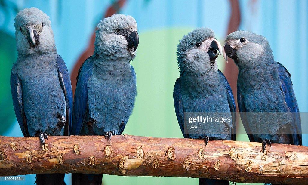 Spix's macaws (L-R) Felicitas, Frieda, P : News Photo