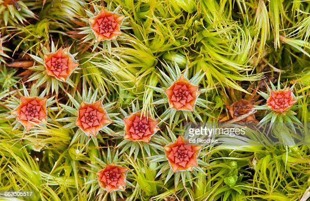 splash cups of hairy cap moss in spring - ed reschke photography stock pictures, royalty-free photos & images