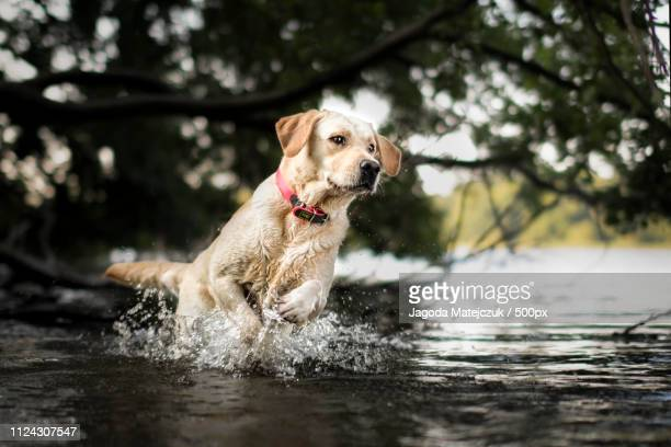 splash - labrador retriever stock pictures, royalty-free photos & images