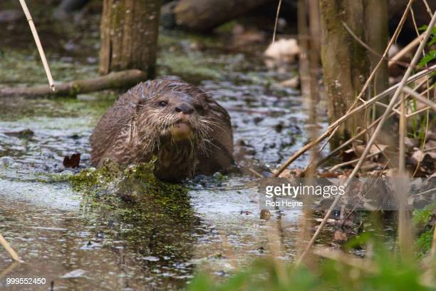 splashing around equals otter fun - giant otter stock pictures, royalty-free photos & images