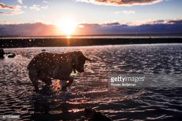 splashing dog, nelson, new zealand - nelson city new zealand stock pictures, royalty-free photos & images