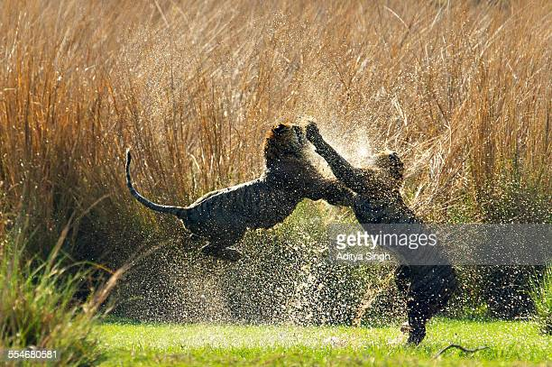 splashing tigers - ranthambore national park stock pictures, royalty-free photos & images