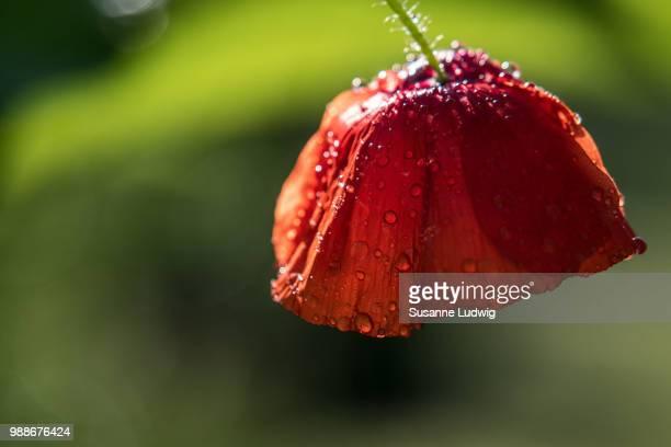 splashy poppy