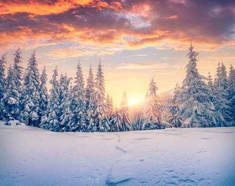Splendid Christmas scene in the mountain forest. 879088762