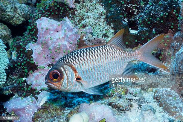 splendid squirrelfish - squirrel fish 個照片及圖片檔