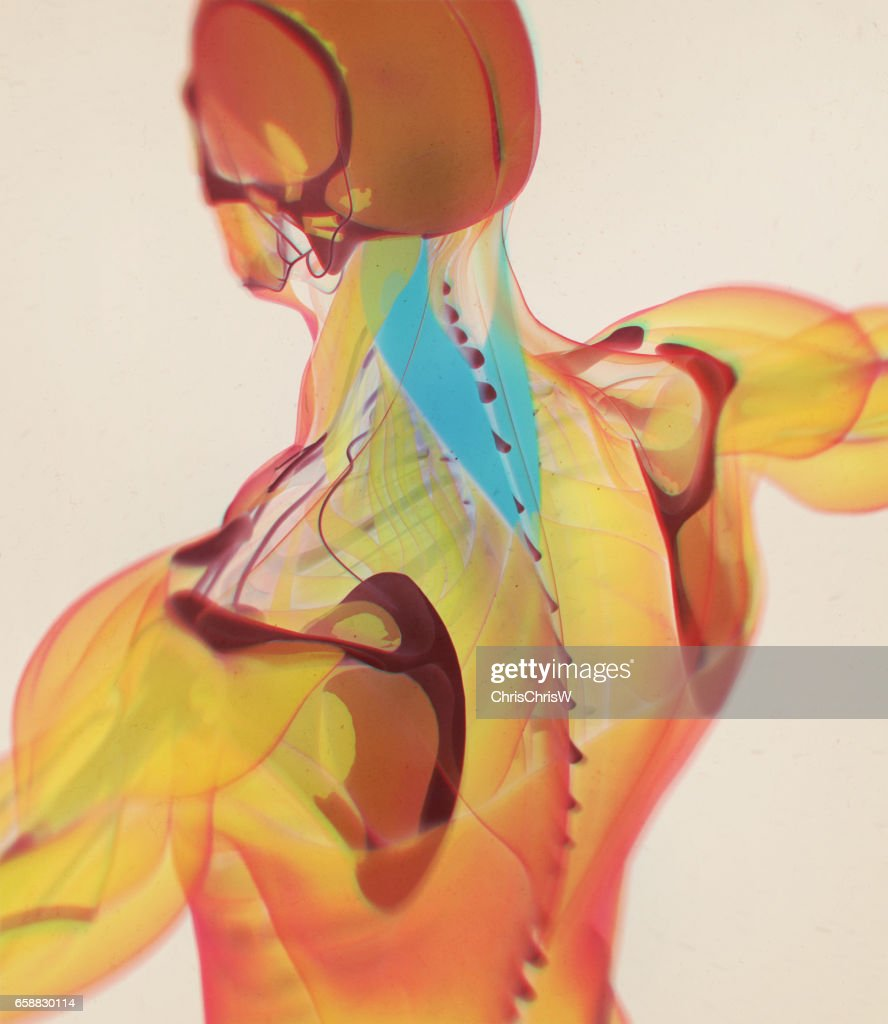 Splenius Capitis Nackenmuskulatur Stress Menschliche Anatomie 3d ...